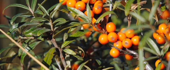 The bright orange fruits of sea-buckthorn  - Amy Lewis - Amy Lewis